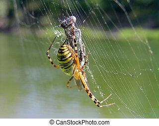 araignés, victime, sien