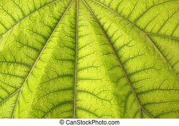 aralia, papir?fera, マクロ, 葉, 細部, araliaceae, から, 陶磁器, 手ざわり