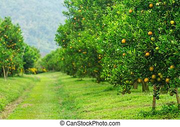 arancia, boschetti