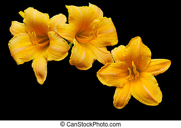 arancia, day-lily