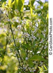 arancia, durante, fiori, albero, primavera
