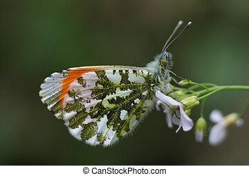 arancia, farfalla, punta