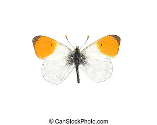 arancia, punta, (anthocharis, cardamines)