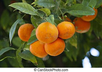 arancio, frutte