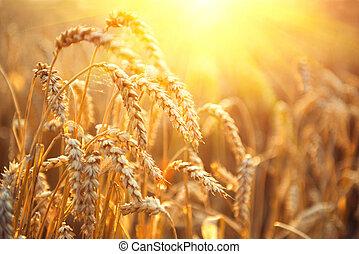 arany-, búza, field., fülek, közül, búza, closeup., betakarít, fogalom
