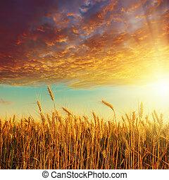 arany-, felett, betakarít, napnyugta, piros