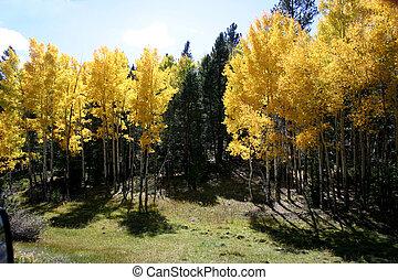 arany-, nyárfa