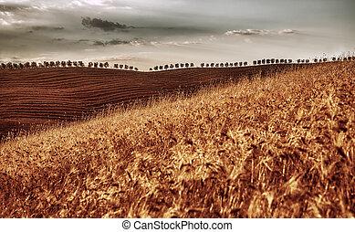 arany-, száraz, búza terep