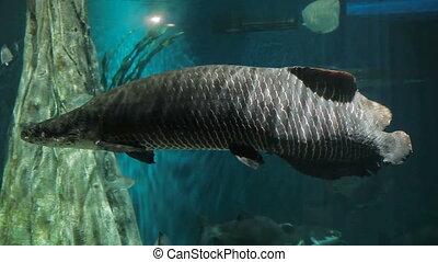 Arapaima gigas. Dangerous fish in Malaysia.