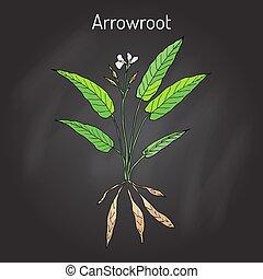 araru, oeste, obediencia, ararao, arundinacea, arrowroot, indio, maranta, o, planta