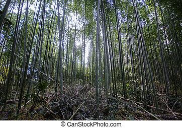 arashiyama, 有名, 森林, 京都, 場所, 竹