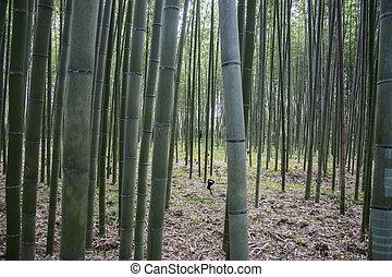 arashiyama, famoso, bosque, kyoto, lugar, bambú