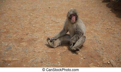 Arashiyama Kyoto monkey - Japanese macaque sitting on the ...