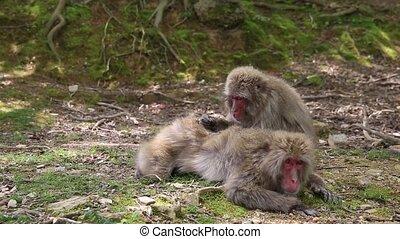 Arashiyama Kyoto monkeys - Japanese macaques getting their ...