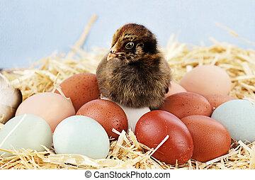 araucana, ひよこ, そして, 卵