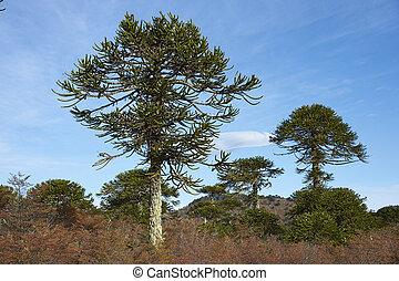 araucania, árboles