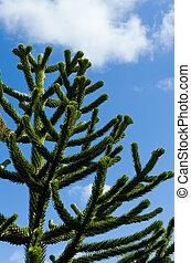 araucaria, árbol