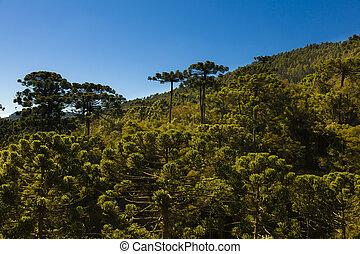 araucaria, árbol, bosque