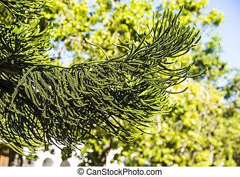 araucaria, árbol, heterophylla