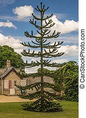 araucaria araucana / Monkey Puzzle Tree