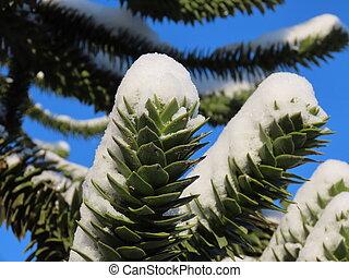 Araucaria branches in winter