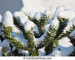 Araucaria cones in winter