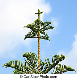 Araucaria excelsa. Exotic evergreen conifer.
