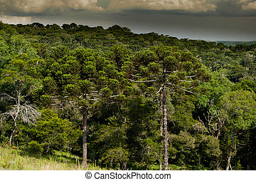Forest with araucaria trees, endangered specie of southern Brazil.