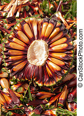 Araucaria pine nuts on the grass.