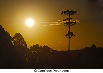 Brazilian pine tree sillouette on sunset. Araucaria angustifolia is a tree threatened of extinguishing by deforestation.