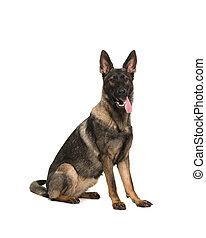 arbetande hund, tyska herde, sittande, sett, från, den, sida