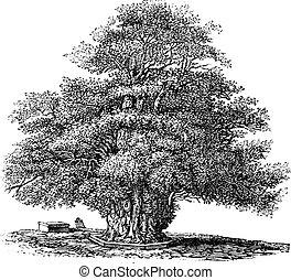 arbol tejo, o, taxus, baccata, en, s., helens, iglesia, en,...
