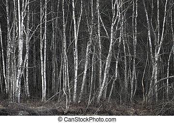 arboleda, árboles desnudos, abedul