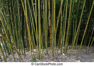 arboleda, bambú