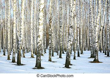 arboleda, diciembre, soleado, nieve, abedul