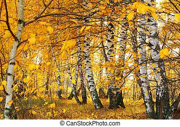 arboleda, dorado, otoño, abedul