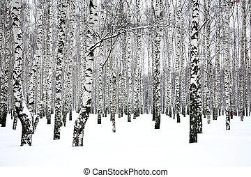 arboleda, invierno, abedul