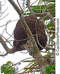 arboreal termite nest seen Im Mexico