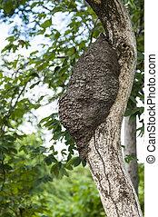 Arboreal Termite Nest