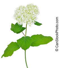 arborescens), (hydrangea, hortensia, arborescens