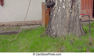 Arborist rises to the birch - The arborist rises to the...