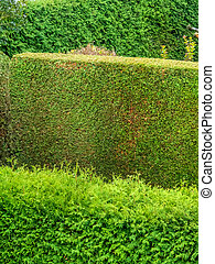 arborvitae as a privacy - a hedge of arborvitae for privacy ...
