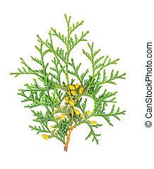 Arborvitae branch, isolated on white background. Green thuja sprig.