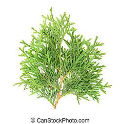 Green arborvitae branch, isolated on white background. Green thuja sprig