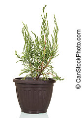 Arborvitae, evergreen plant of family Cupressaceae in pot isolated on white