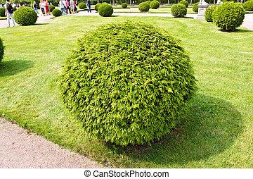 Arborvitae (lat. Thuja) round bush on a lawn