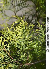 Arborvitae leaves - Latin name - Thuja occidentalis