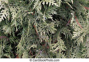 Arborvitae Pattern #2