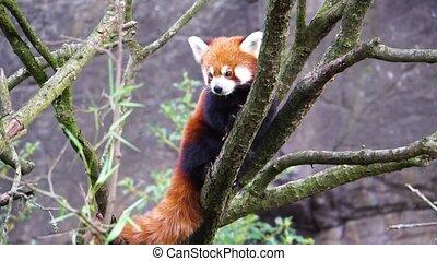 arbre, élevé, espèces, asie, animal, regarder, rouges, mis...