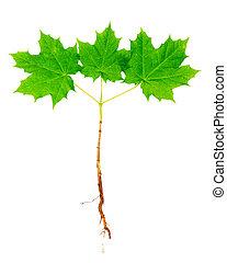 arbre érable, jeune, racines